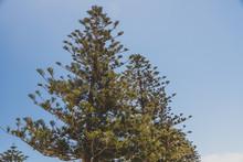 Norfolk Island Pine Trees Shot In Western Australia In Summer