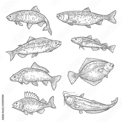 Fototapeta Vector sketches of sea and ocean fish animal. Salmon, tuna and perch, carp, trout and flounder, sheatfish, navaga and herring isolated fish sketch, sport or fish market theme obraz