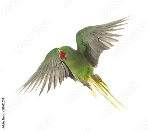 Beautiful Alexandrine parakeet flying isolated on white