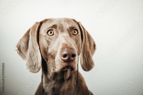 Obraz Weimar dog portrait on the gradient white background. - fototapety do salonu