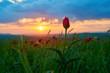 Wild red tulip in sunset light. Wild red tulip in the spring.