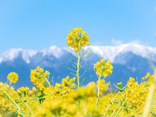 Canola Flower And Snow Mountai...