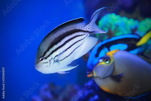 Angelfish - Genicanthus lamarck  in sea water. Canvas Print