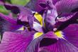 canvas print picture - Silverband Iris (Iris ensata 'Silverband'). Known as Iris ensata 'Variegata' also.