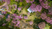 Aerial From Drone, Pink Sakura...