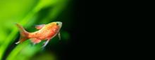Panoramic Aquarium Landscape, Close-up Tropical Fish Longtail Barb Pethia Conchonius. Shallow Depth Of Field. Green Plants On Black Background. Copy Space
