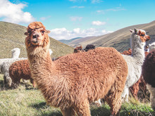 Domesticated Alpacas, Social H...