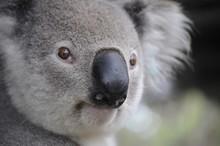 Cute Koala Bear In Australia