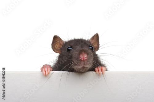 Fotografie, Obraz Funny rat isolated on white background.