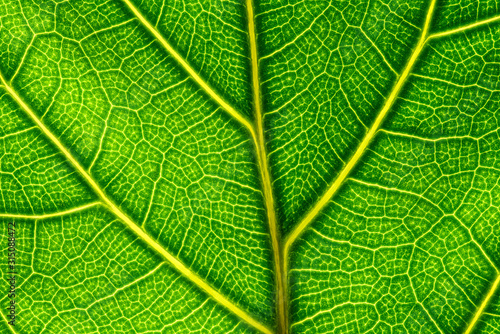 Photo Extreme close up of a back lit green leaf