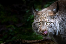 A Bobcat Licking Its Mouth