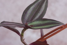 Dark Green, Purple With Light Purple Stripe Tropical Plant