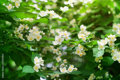 White jasmine flowers blossom on green leaves blurred background closeup, delica Wallpaper Mural