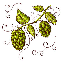 Hand Drawn Hops Plant Illustration Isolated On White. Vector Hop On A Branch With Leaves And Cones In Engraving Vintage Style With Curly Tendrils Great For Packing, Beer Label Design, Pub Emblem Et