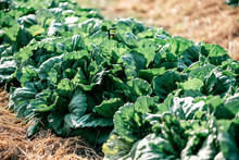 Active Grows. Close Up Of Organic Green Chinese Cabbage Plantation On A Sunny Day. Plant Nursery Of Organic Vegetables Outdoors. Horizontal Shot
