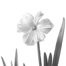 Daffodil Isolated On A White. ...
