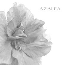 Azalea Isolated On A White. Bl...