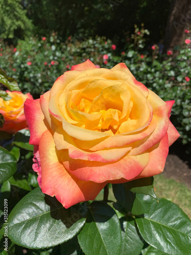yellow flame rose