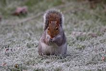 Grey Squirrel (Sciurus Carolinensis) Feeding On A Frosty Lawn, East Sussex,UK