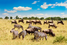 African Landscape. Zebra And Wildebeests Grazing In A Grass Of African Savannah. Masai Mara National Reserve, Kenya.