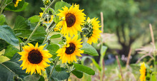 Yellow Sunflower Flowers On Blurred Background. Sunflower Cultivation_