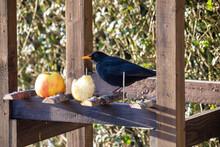 Male Of Common Blackbird, Turdus Merula Feeding In Homemade Wooden Bird Feeder, Birdhouse Installed On Winter Garden, No Snow
