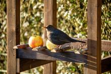 Female Of Common Blackbird, Tu...
