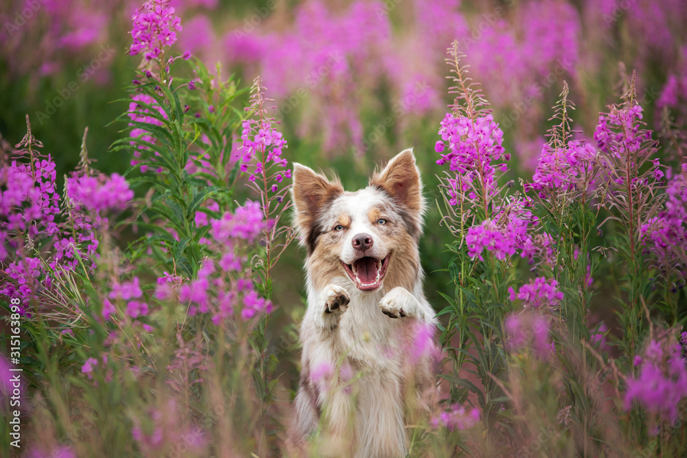 Fototapeta Dog in lilac flowers. Border Collie in a field on nature. Portrait of a pet.