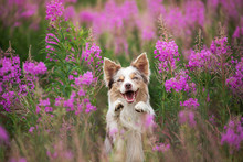 Dog In Lilac Flowers. Border C...