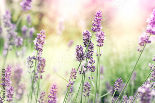 Fototapety, obrazy: Selective and soft focus on lavender, lavender flowers lit by sunlight in flower garden