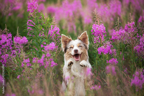 Valokuvatapetti Dog in lilac flowers