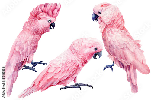 Fototapeta set of cockatoo, parrot pink isolated white background, watercolor illustration,