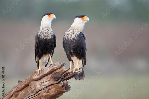 Two Northern Crested Caracara (Caracara cheriway) perched, Texas, USA Wallpaper Mural