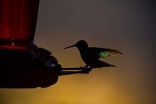 Hummingbird On Feeder With Sun...