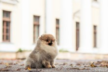 Pomeranian Baby Posing Outside. Small Pomeranian Puppy.