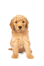 Cute Labradoodle Puppy Sitting Looking At The Camera Isolated On A White Background With Space For Text