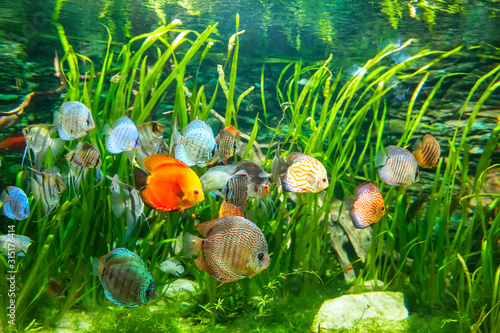Fresh water aquarium with colorful fishes . Canvas Print