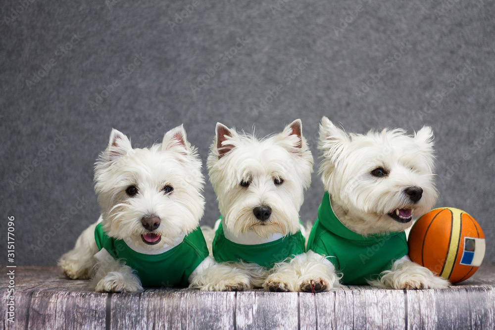 Fototapeta Couple dog posing with clothes. Cairn terrier and westie posing in the studio.
