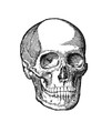 Illustration circa late 1800s of a human skull. Black and white drawing medical scientific diagram.