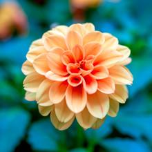 Orange Dahlia Blooming In Gard...