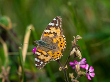 Painted Lady Butterfly ( Vanessa Cardui )