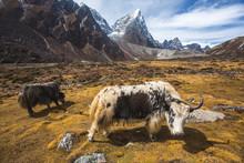 Yak Graze In Himalayan Mountai...