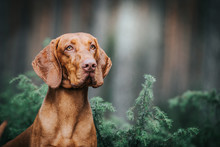 Vizla Boy Posing Outside. Vizla Dog Portrait In Green Background. Forest Around.