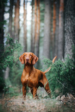 Vizla Boy Posing Outside. Vizl...