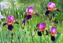 Blooming Irises In The Garden. Bearded Iris Cultivar, Similar To The Classic Cultivar Alcazar.