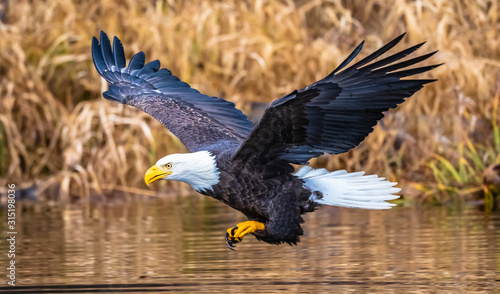 Valokuva Bald Eagle