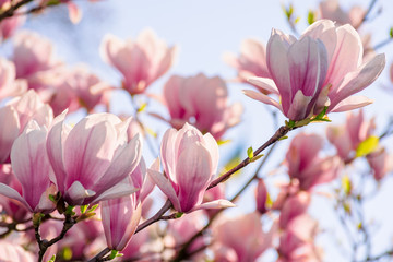 Fototapeta Drzewa magnolia tree blossom in springtime. tender pink flowers bathing in sunlight. warm april weather