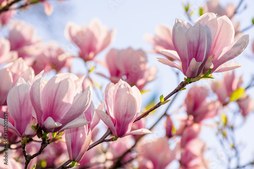 Obraz magnolia tree blossom in springtime. tender pink flowers bathing in sunlight. warm april weather - fototapety do salonu