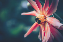 Honey Bee Pollinated Of Pink F...