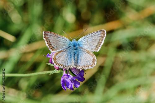 Fotografiet Chalkhill Blue Butterfly - Lysandra coridon male on a purple flower